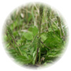 サイリアムシード(オオバコ種子)