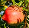 Organics エイジリバーサル ザクロ アイセラム(コエンザイムQ10配合 目もと専用美容液)