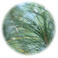 ピクノジェノール 100mg (フランス海岸松樹皮エキス)