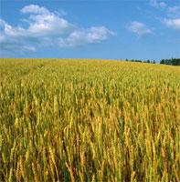 スーパースプラウトプラス(濃縮発芽小麦&ビタミン、ミネラル、NAC)