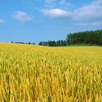 ウィートジャームオイル(小麦胚芽油)1400mg